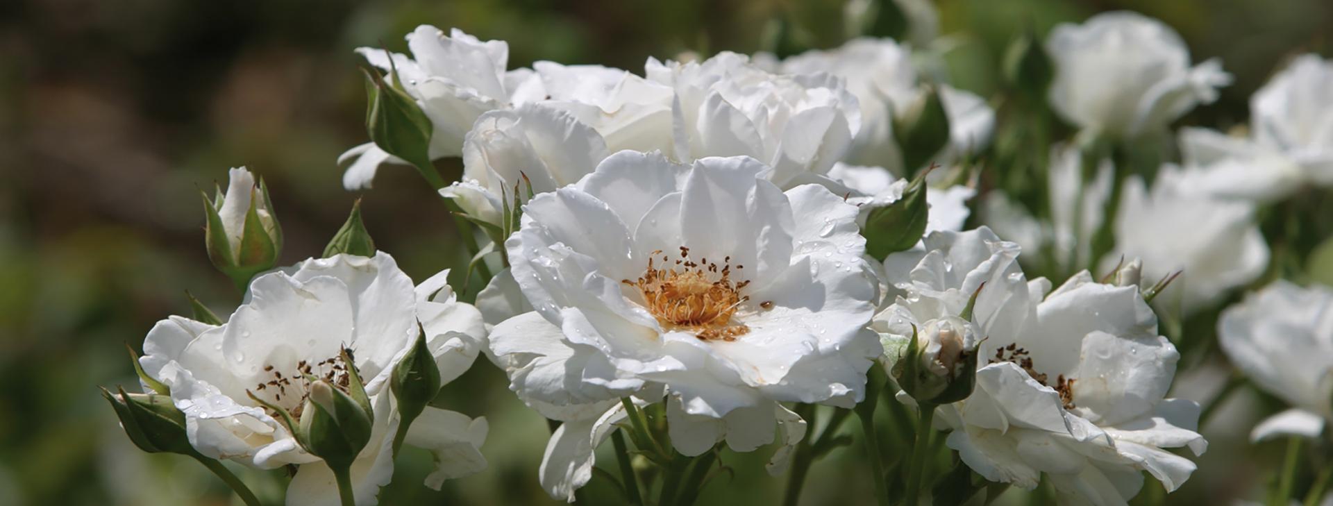 """""""Die Rose spricht alle Sprachen der Welt"""""""